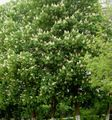 white Flower Horse Chestnut, Conker Tree Photo and characteristics