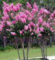 white Flower Crape Myrtle, Crepe Myrtle Photo and characteristics