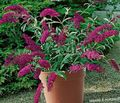 burgundy Flower Butterfly Bush, Summer Lilac Photo and characteristics