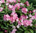 pink Flower Azaleas, Pinxterbloom Photo and characteristics