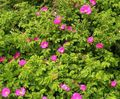 pink Flower Beach Rose Photo and characteristics