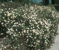 white Flower Rose Ground Cover Photo and characteristics