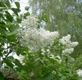 white Flower Common Lilac, French Lilac Photo and characteristics