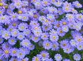 light blue Flower Swan River daisy Photo and characteristics
