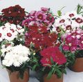 burgundy Flower Dianthus, China Pinks Photo and characteristics