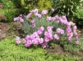 pink Flower Dianthus perrenial Photo and characteristics