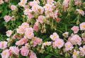 pink Flower Rock rose Photo and characteristics