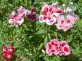pink  Atlasflower, Farewell-to-Spring, Godetia Photo and characteristics
