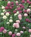 pink Flower Globe Amaranth Photo and characteristics