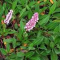 pink  Himalayan Knotweed, Himalayan Fleece Flower Photo and characteristics