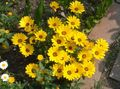yellow Flower Cape Marigold, African Daisy Photo and characteristics
