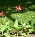 red Flower Canna Lily, Indian shot plant Photo and characteristics