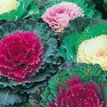 pink  Flowering Cabbage, Ornamental Kale, Collard, Curly kale Photo and characteristics