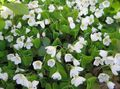 white  Wood Sorrel, Whitsun Flower, Green Snob, Sleeping Beauty Photo and characteristics