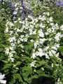 white  Campanula, Bellflower Photo and characteristics