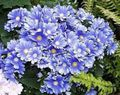 light blue Flower Florist's Cineraria Photo and characteristics