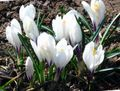 white Flower Early Crocus, Tommasini's Crocus, Snow Crocus, Tommies Photo and characteristics