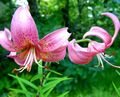 pink Flower Lily The Asiatic Hybrids Photo and characteristics