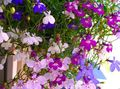 pink Flower Edging Lobelia, Annual Lobelia, Trailing Lobelia Photo and characteristics