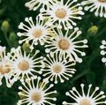 white Flower African Daisy, Cape Daisy Photo and characteristics