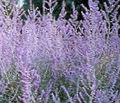 lilac Flower Russian Sage Photo and characteristics