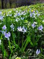 light blue Flower Siberian squill, Scilla Photo and characteristics