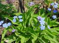 light blue Flower Navelwort, Blue-Eyed-Mary, Creeping Forget-Me-Not Photo and characteristics