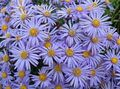 light blue Flower Ialian Aster Photo and characteristics