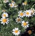 white Flower Ialian Aster Photo and characteristics