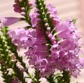pink Flower Obedient plant, False Dragonhead Photo and characteristics