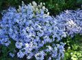 light blue Flower Creeping Phlox, Moss Phlox Photo and characteristics