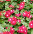 red Flower Rose Periwinkle, Cayenne Jasmine, Madagascar Periwinkle, Old Maid, Vinca Photo and characteristics