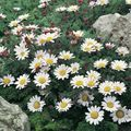 white Flower Mount Atlas Daisy, Mt. Atlas Daisy, Pellitory, Spanish Chamomile Photo and characteristics