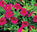 pink Flower Calibrachoa, Million Bells Photo and characteristics