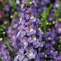 purple Flower Angelonia Serena, Summer Snapdragon Photo and characteristics