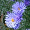 light blue Flower Aster Photo and characteristics