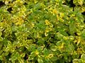 multicolor Leafy Ornamentals Lemon Thyme Photo and characteristics