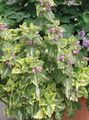 multicolor Leafy Ornamentals Dead nettle, Spotted Dead Nettle Photo and characteristics