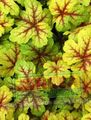 multicolor Leafy Ornamentals Heucherella, Foamy Bells Photo and characteristics