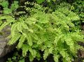 light green  Northern Maidenhair Fern, Five-finger fern, Five-fingered Maidenhair, American Maidenhair Photo and characteristics