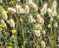 light green Cereals Hare's Tail Grass, Bunny Tails Photo and characteristics