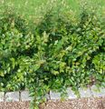green Plant Hedge Cotoneaster, European Cotoneaster Photo and characteristics