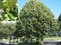 green Plant Common Lime, Linden Tree, Basswood, Lime Blossom, Silver Linden Photo and characteristics