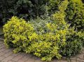 yellow Plant Euonymus Photo and characteristics