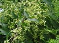green Plant Euonymus Photo and characteristics