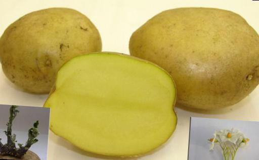 работы механизма картошка сорт лимонка описание с фото современной демократии