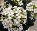 white Succulent Kalanchoe Photo and characteristics