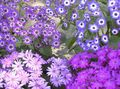 lilac Herbaceous Plant Cineraria cruenta Photo and characteristics