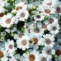 white Herbaceous Plant Cineraria cruenta Photo and characteristics