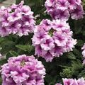 lilac Herbaceous Plant Verbena Photo and characteristics